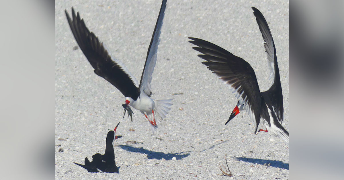 Black Skimmers on beach